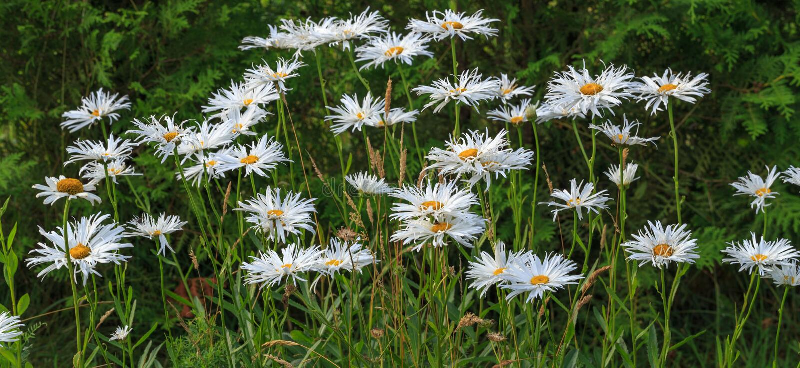 Leucanthemum Shasta maksymalna stokrotka, max chryzantema, stokrotka Szalona, koło, łańcuch, chamomel, gangu uderzenie w flowerbe zdjęcie stock
