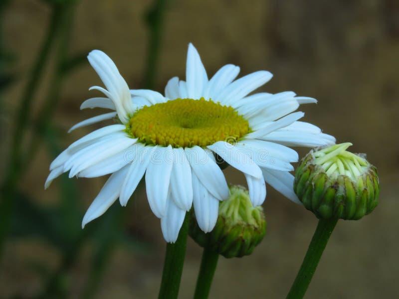 Leucanthemum x superbum, Shasta-Madeliefjes De witte lente, de zomer, de herfst openluchtbloem stock afbeeldingen
