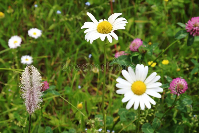 White oxeye daisies in the Isere Region, France stock photo