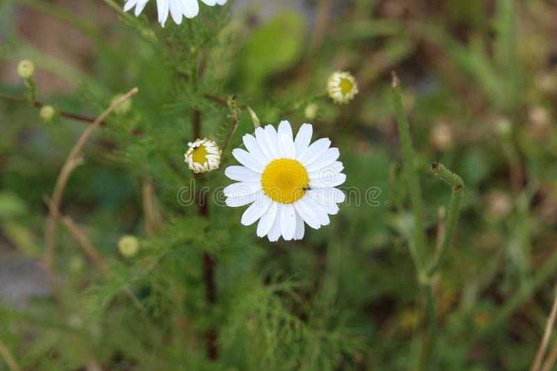 Leucanthemum vulgare, commonly known as the ox-eye daisy, oxeye daisy, dog daisy flower. Close up of Leucanthemum vulgare, commonly known as the ox-eye daisy royalty free stock photography