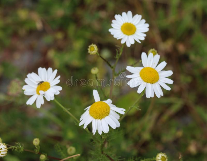 Leucanthemum vulgare, commonly known as the ox-eye daisy, oxeye daisy, dog daisy flower. Close up of Leucanthemum vulgare, commonly known as the ox-eye daisy royalty free stock images