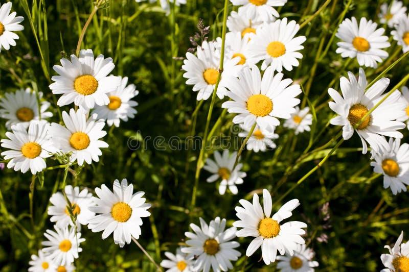 Leucanthemumvulgare royaltyfri foto