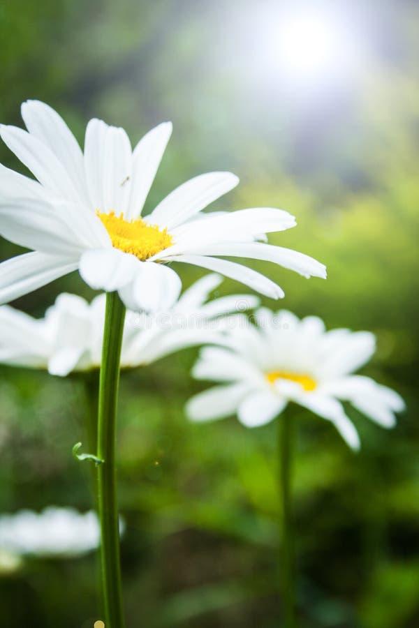 Leucanthemumvulgare arkivfoton
