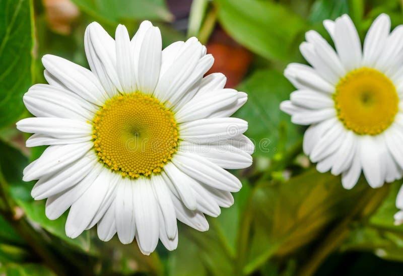 Leucanthemumvulgare, prästkragen eller prästkrage (syn Krysantemumleucanthemum) royaltyfria bilder