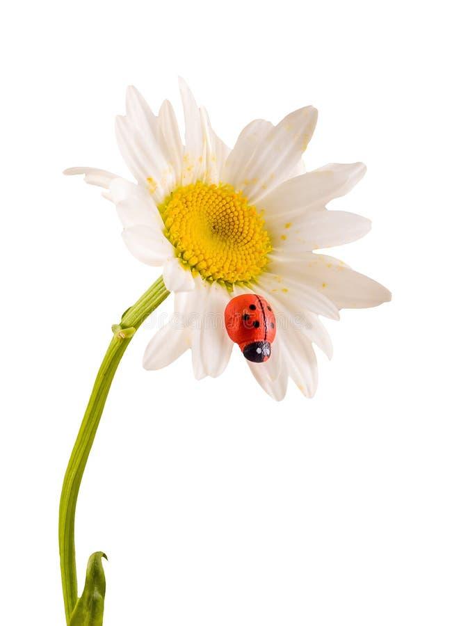 Leucanthemumvulgare, prästkragen eller prästkrage (syn Krysantemumleucanthemum), med nyckelpigan royaltyfri foto