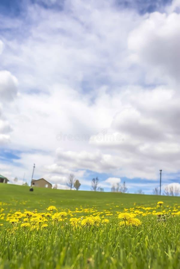 Leuchtende gelbe Blumen und klare grüne Gräser unter bewölktem blauem Himmel im Frühjahr stockfoto