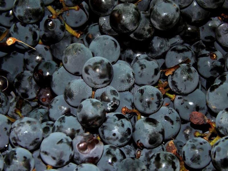 Leuchtende Trauben auf der Rebe lizenzfreie stockfotografie