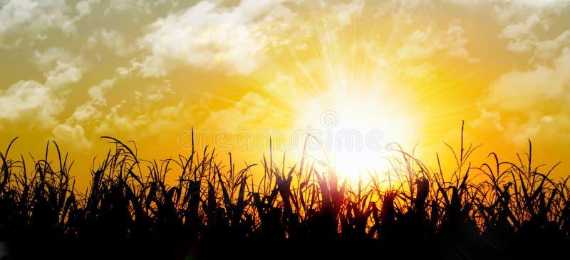 Leuchtender orange Sonnenaufgang über einem Maisfeld lizenzfreie stockfotografie