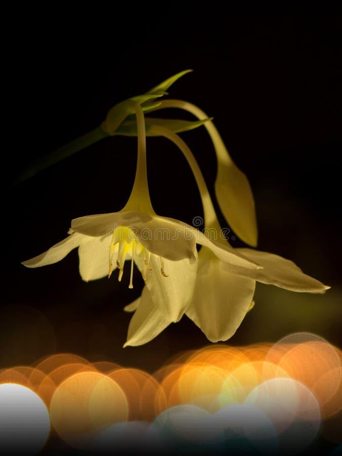 Leuchtkäfer und Blume nachts lizenzfreies stockfoto