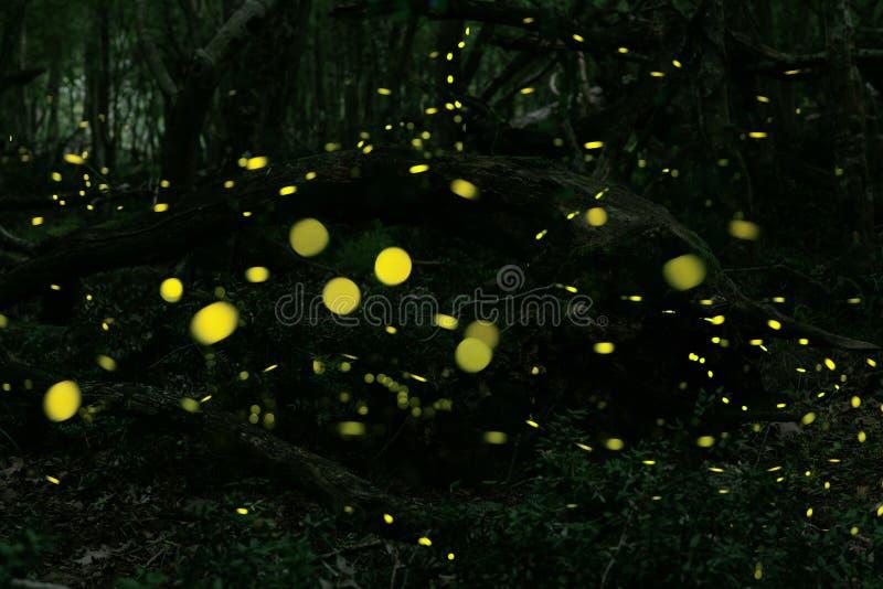 Leuchtkäfer am Wald nahe Burgas-Stadt, Bulgarien stockfotografie