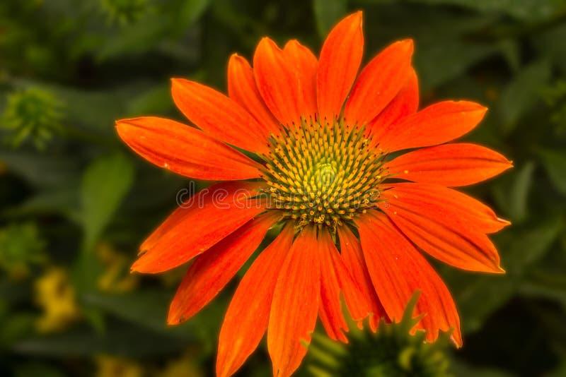 Leuchtorange-mexikanische Sonnenblumen-Gänseblümchen stockfoto