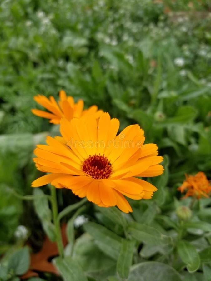 Leuchtorange Wildflowers in voller Blüte stockfotografie
