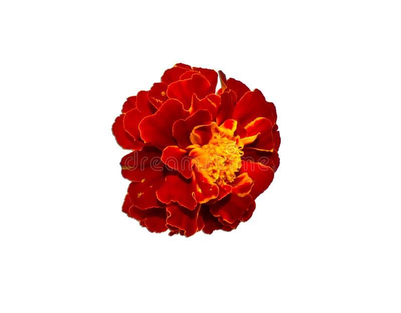 Leuchtorangeblume der einzelnen Blume der Ringelblume lizenzfreie stockbilder