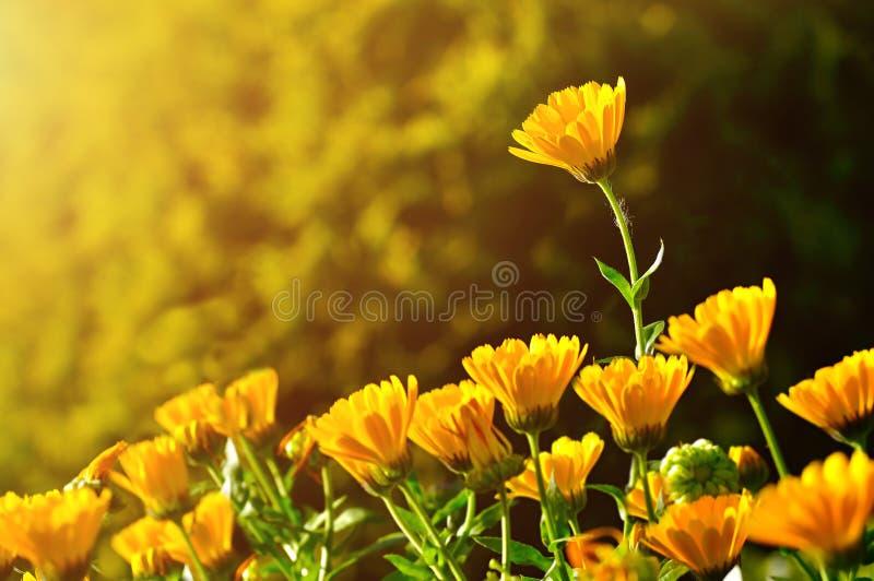 Leuchtorangeblumen von Calendula unter leicht- Sommerhintergrund des Sonnenuntergangs lizenzfreie stockfotos