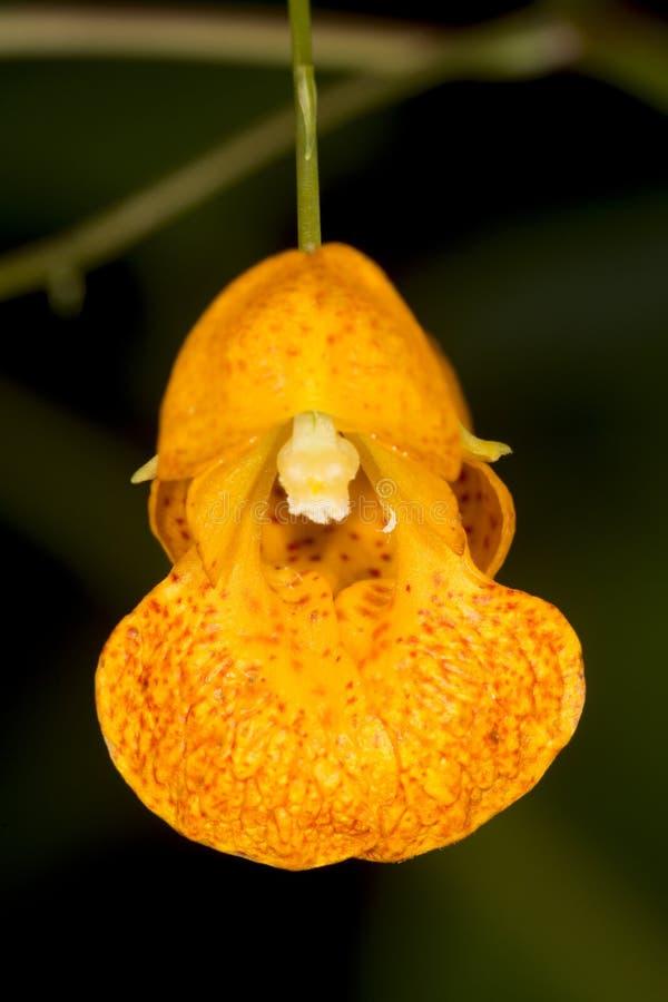 Leuchtorangejuwel-Unkrautblume an der Belding-Konserve, schließen an lizenzfreie stockfotos