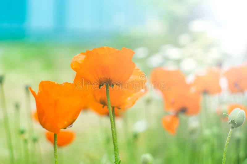 Leuchtorangemohnblumen gegen den blauen Himmel im Sonnenlicht, Weichzeichnung, selektiver Fokus, Pastellfarben Natürlicher Hinter stockfotografie