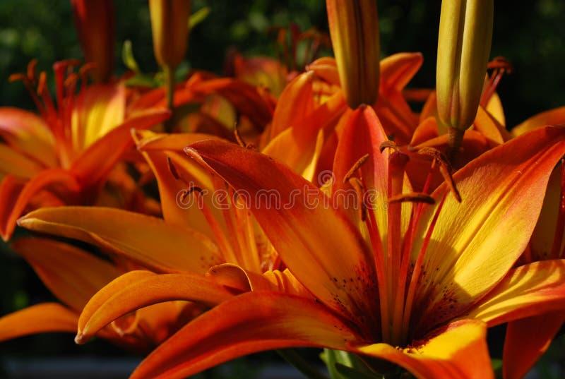 Leuchtorangetigerliliennahaufnahme im Garten lizenzfreie stockbilder