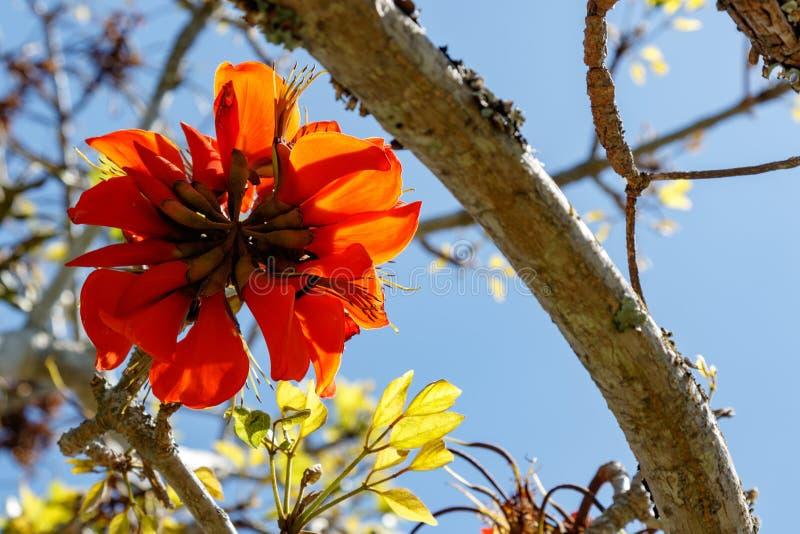 Leuchtorangezierpflanzenbau im Baum stockbild