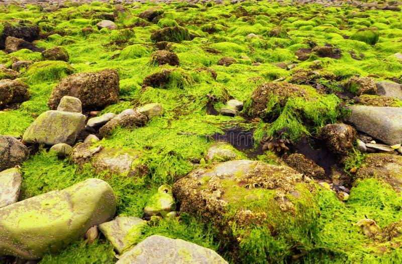 Leuchtstoff grünes Seekopfsalat Ulva Lactucameerespflanze stockfoto
