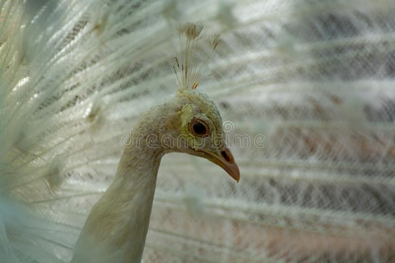 Leucistic Indian peacock, Pavo cristatus, beautiful white bird with open tail. Close up royalty free stock image