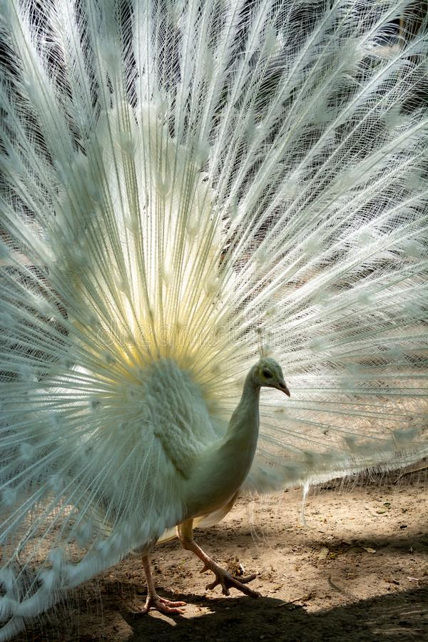 Leucistic Indian peacock, Pavo cristatus, beautiful white bird with open tail. Close up royalty free stock photos