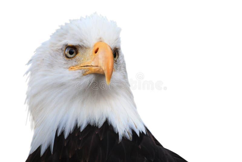 leucocephalus de haliaeetus d'aigle chauve photographie stock libre de droits