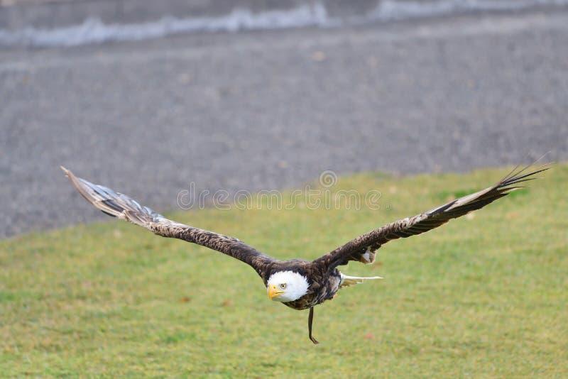 Leucocephalus de haliaeetus d'aigle chauve images libres de droits