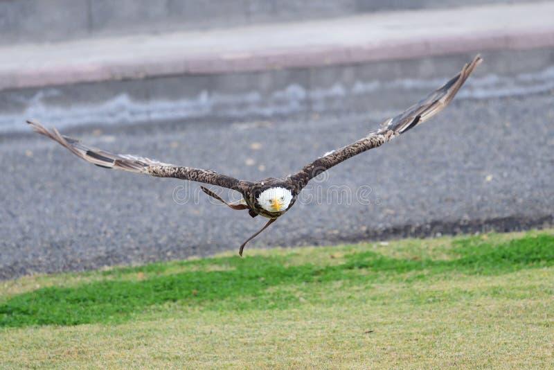 Leucocephalus de haliaeetus d'aigle chauve photo libre de droits