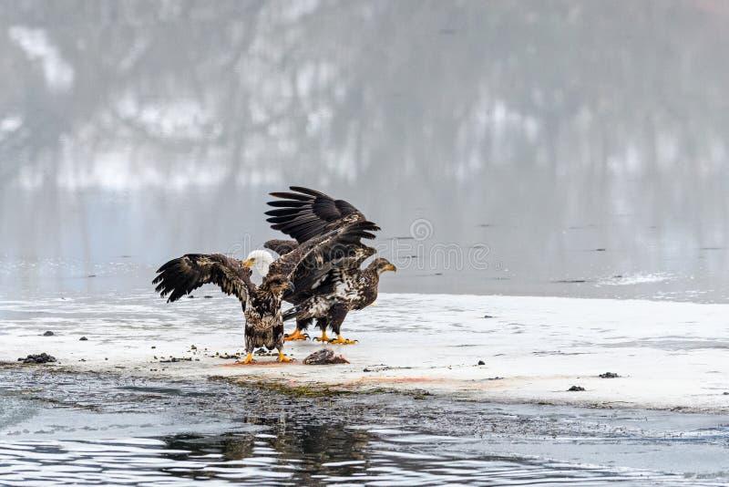Leucocephalus del Haliaeetus de Eagles calvo que lucha para los salmones en el th imagen de archivo