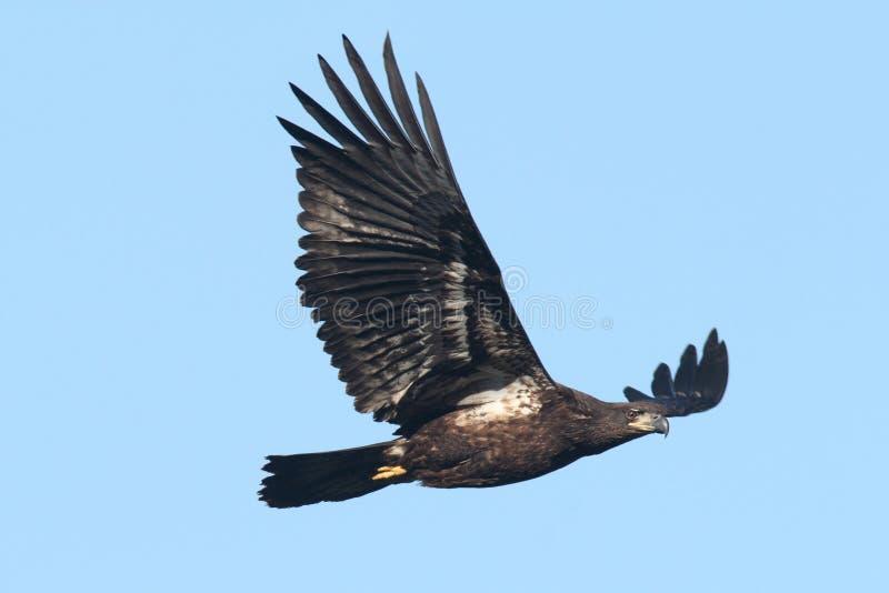 Leucocephalus juvenil del haliaeetus de Eagle calvo imágenes de archivo libres de regalías