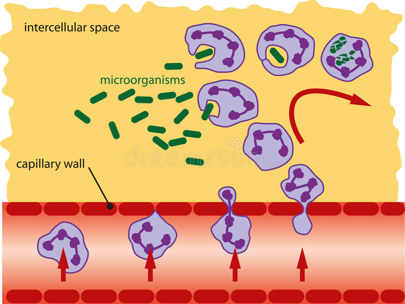 Leucocytes. Leukocytes takes microorganisms with his false legs and decompose them into the cytoplasm royalty free illustration