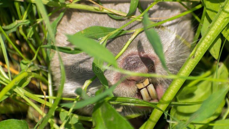 Leucodon dello Spalax o microphthalmus dello Spalax sorpreso nel suo habitat naturale con erba verde fotografie stock