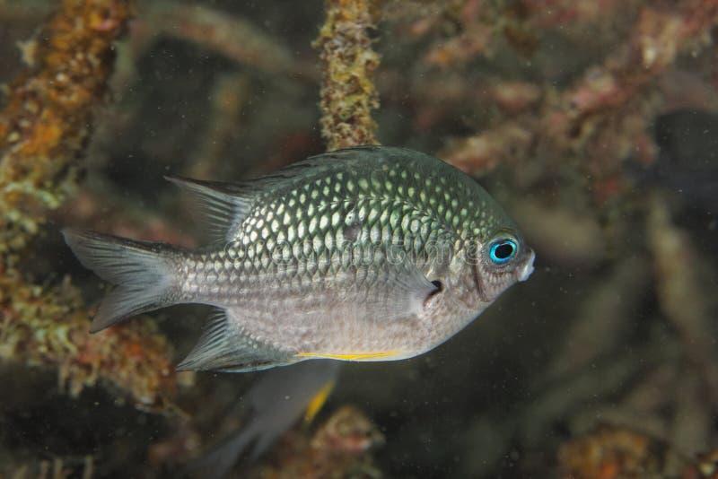 Leucogaster de Amblyglyphidodon - mar de Andaman fotografia de stock royalty free