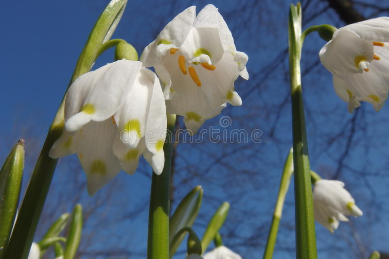 Leucojum vernum. Called spring snowflake in spring royalty free stock images
