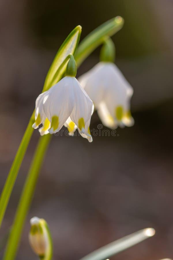 Spring snowflake, Harbinger of spring. stock images
