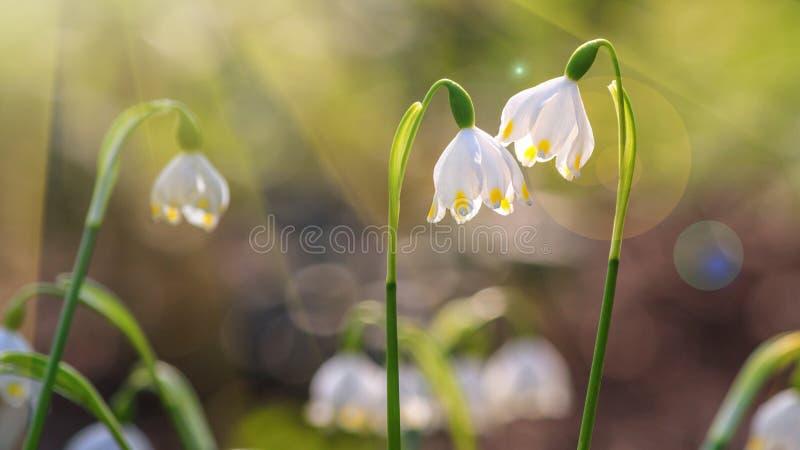 Leucojum vernum eller v?rsn?flinga - blomma vita blommor arkivbild