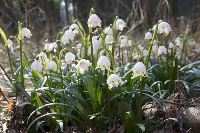 Leucojum vernum flowers, early spring snowflakes on the meadow royalty free stock photo