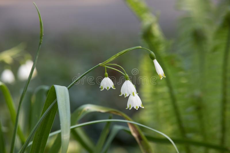 Leucojum vernum royalty free stock photography