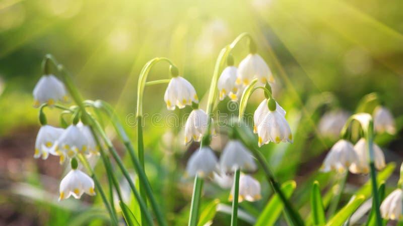 Leucojum-vernum oder Frühlingsschneeflocke - blühende weiße Blumen stockbilder