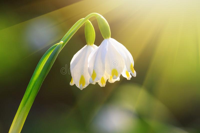 Leucojum vernum or spring snowflake - blooming white flowers royalty free stock images