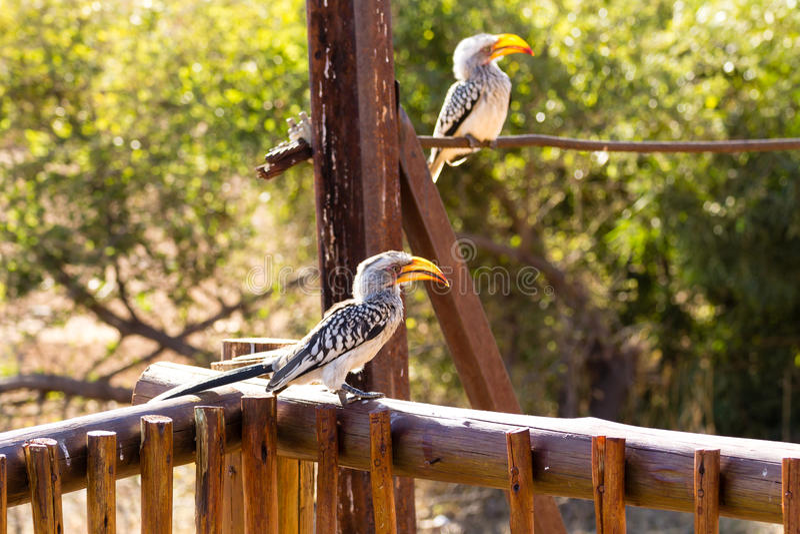 Leucomelas de Tockus de Suráfrica, parque nacional de Pilanesberg imagenes de archivo