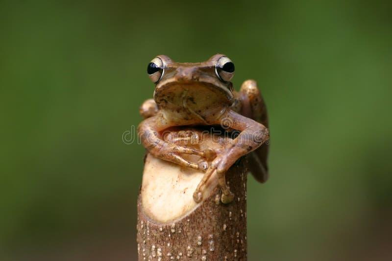 Leucomystax del Polypedates fotografia stock