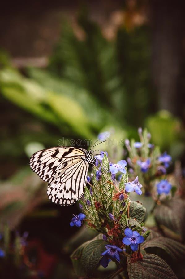 Leuconoe идеи, бумажная бабочка змея, бабочка рисовой бумаги на f стоковые фото