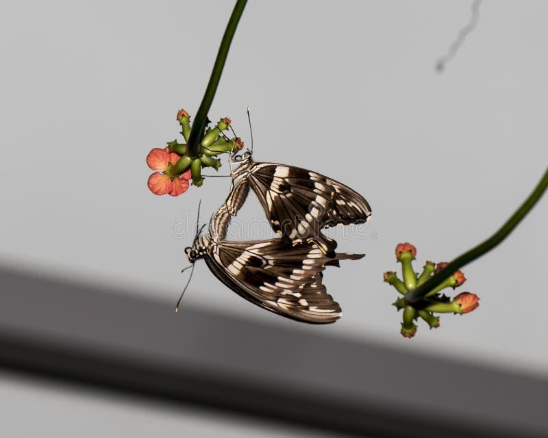 Leuconoe accoppiamento di idea - farfalle di carta dell'aquilone immagine stock