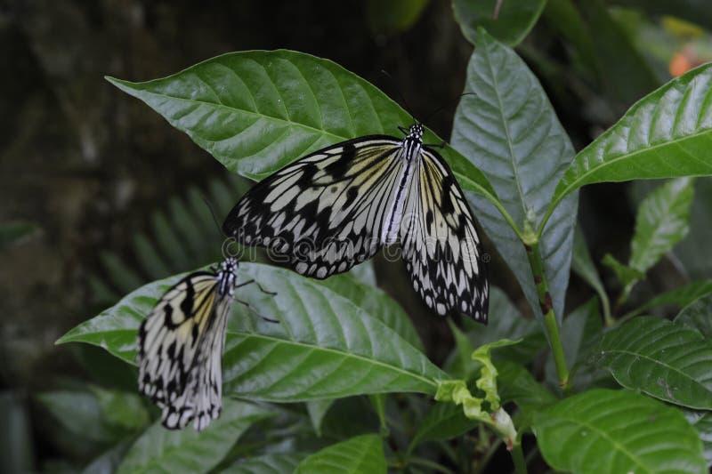 Leuconoe tropicale di idea di parecchie della carta farfalle dell'aquilone immagine stock libera da diritti
