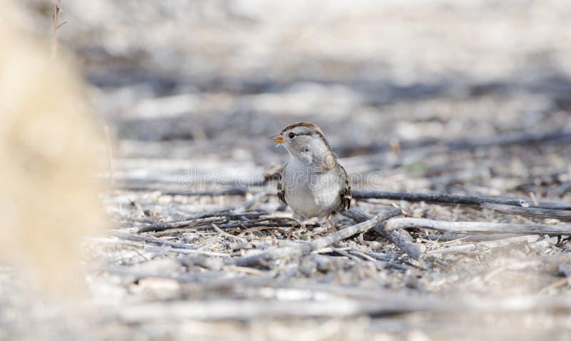 Leucophrys di Zonotrichia del passero dal collare bianco sulla terra fotografia stock libera da diritti