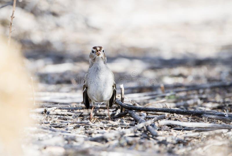 Leucophrys di Zonotrichia del passero dal collare bianco sulla terra immagini stock libere da diritti