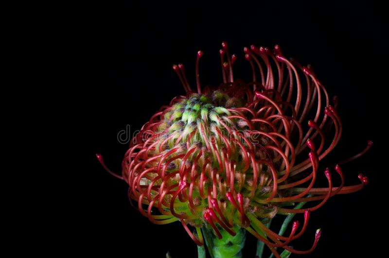 Leucospermum cordifolium, red pincushion-protea. Close up of a beautiful protea pincushion flower, symbol of strength, royalty free stock photography