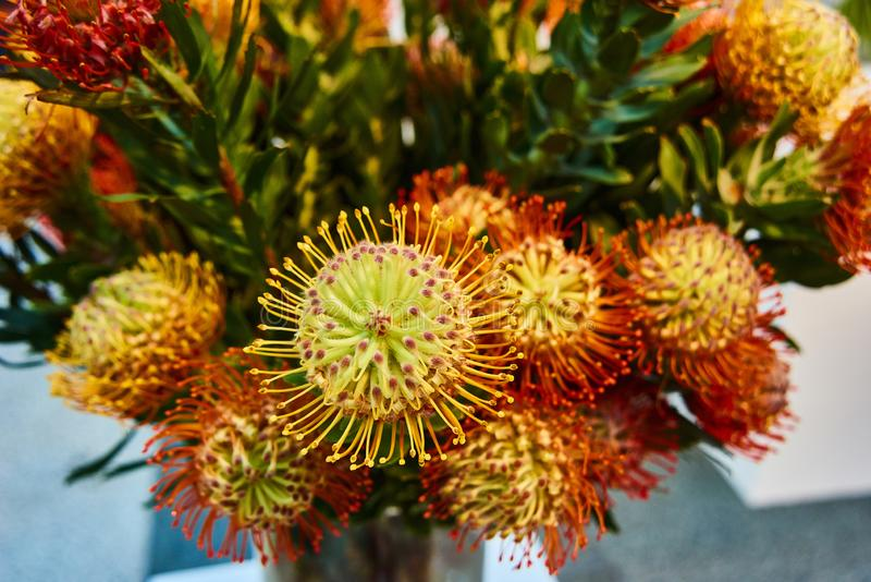 Bright red stamen with yellow tips give this pincushion the appearance of a fireball in motion. Leucospermum Flame Giant is one kind of protea. Beautiful bouquet royalty free stock images