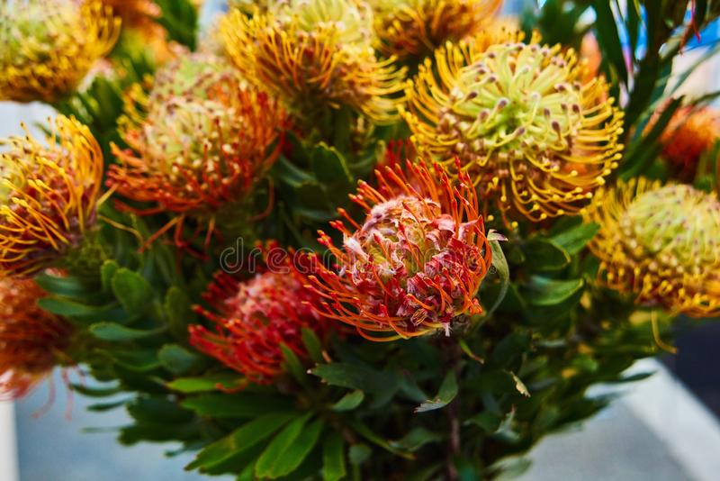 Bright red stamen with yellow tips give this pincushion the appearance of a fireball in motion. Leucospermum Flame Giant is one kind of protea. Beautiful bouquet stock image